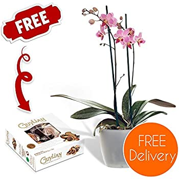 Free DELIVERY - Beautiful Potted Twin-Spiked Phalaenopsis Orchid for a Touch of Eastern Charm