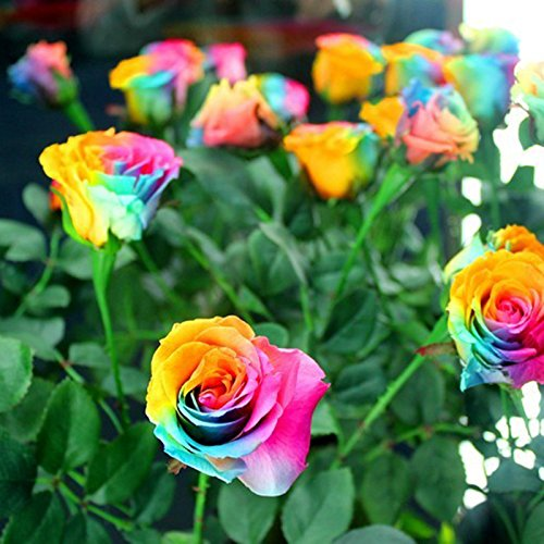 snnplaplar-multi-color-200pcs-rainbow-rose-flower-seeds-garden-plants-seeds-flower-seeds