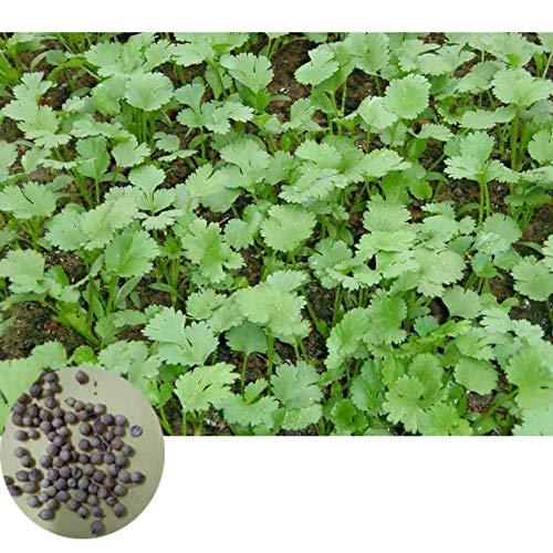 500 pezzi semi di coriandolo semi di ortaggi deliziosi semi di piantare giardino