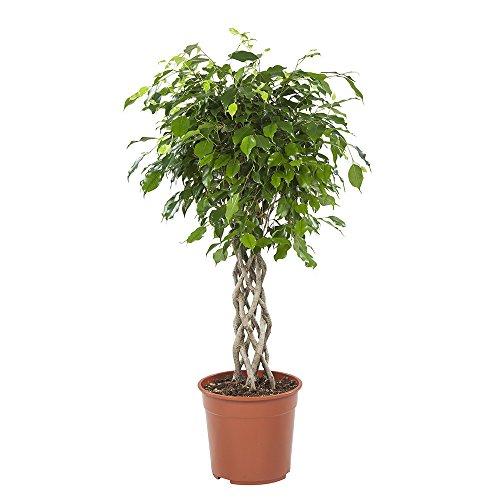 BOTANICLY | Plantas naturales - ficus | Altura: 110