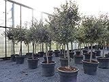 SONDERPREIS: Olivenbaum Olive 140-170 cm, beste Qualität, winterhart + robust