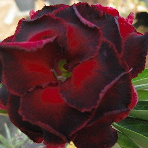 Kisshes giardino - 100 pezzi desert rose seeds hybrid rose fiori colorati per il tuo giardino balcone lungo fiore perenne hardy