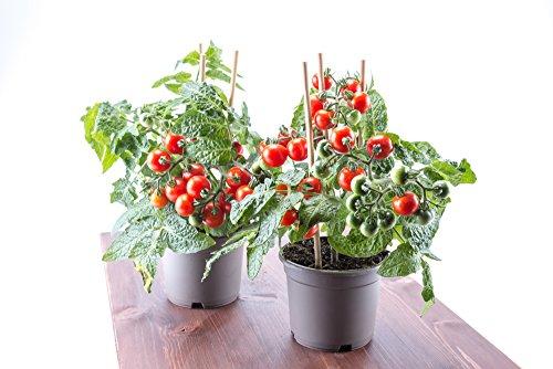 Rote Mini-Tomate 'Tiny Tim' Zwrg Tomate 20 Samen - Mini-samen