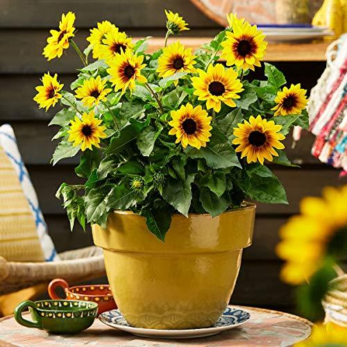 Soteer Garten - Raritäten Mini-Sonnenblumen Samen Balkon-Sonnenblumen Sommerblumen Herbstzauber Sichtschutz Zierpflanzen Saatgut für Garten Balkon/Terrasse