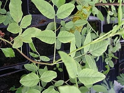 Kräuterey : Süssholz - Glycyrrhiza glabra - Pflanze - Bioland von Kräuterey - Du und dein Garten
