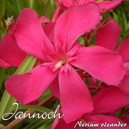 Oleander 'Jannoch' - Nerium oleander - Größe C15