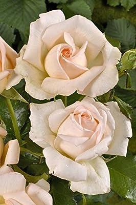 3er Pack Pastellfarbene Duftträume im 4 L Container von Rosen-Union eG. - Du und dein Garten
