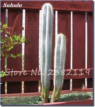 Géant à long Cactus Graines résistant à la chaleur extérieure Succulent Plante en pot Purifier Air Bonsai pour jardin Radioprotection 80 Pcs 8