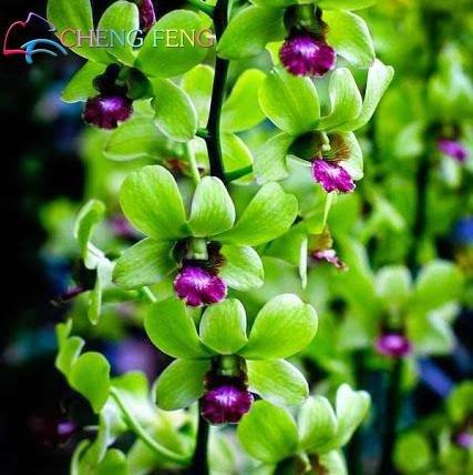 Galleria fotografica 100 semi Pz Un Sacchetto Dendrobium, seme di fiore in vaso bonsai rara orchidea Piante nascente Tasso 95% colori misti