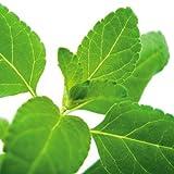 Bio Pfirsichsalbei Kräuterpflanze