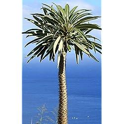 Palmenmann Madagaskarpalme - Pachypodium lamerei