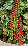 Best Tomato Plants - Seedscare Vegetable Cherry Tomatoes Seeds Review