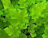 Heuchera - Purpurglöckchen, Lime Marmalade - in Gärtnerqualität von Blumen Eber
