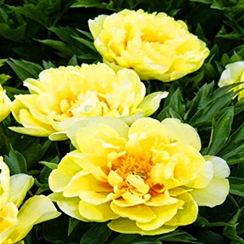 mymotto 10 pcs Rare Double Pivoine Graines Paeonia Suffruticosa Graines De Fleurs Jardin Des Plantes (# 5)