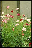 131010 Annual Poppies A4 Photo Poster Print 10x8
