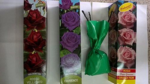 3 PEZZI PIANTE DI Rose mix VIOLA, ROSA ROSSA rose IN ZOLLA per vaso RADICATA cm 35