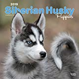 Siberian Husky Puppies 2019 Square Wall Calendar