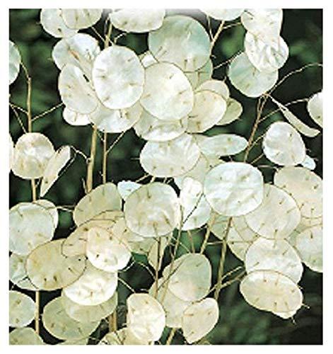 inception pro infinite 300 c.ca semi fiori lunaria moneta del papa - annua in confezione originale prodotto in italia