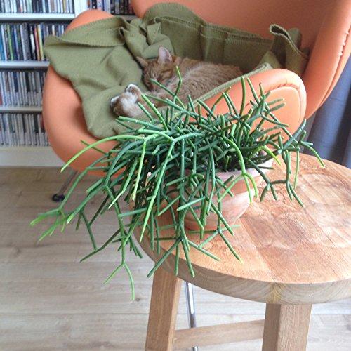 Rhipsalis cassutha - Steckling - 10 cm