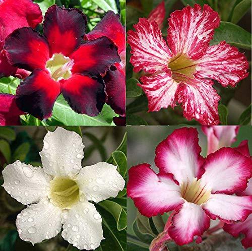 Portal Cool Amasing Adenium Obesum Desert Rose 20-25 Samen 4Colors Set n sind 7-10cm Desert Rose Set