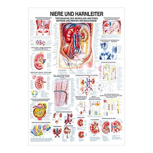 Niere und Harnleiter Lehrtafel Anatomie 100x70 cm medizinische Lehrmittel