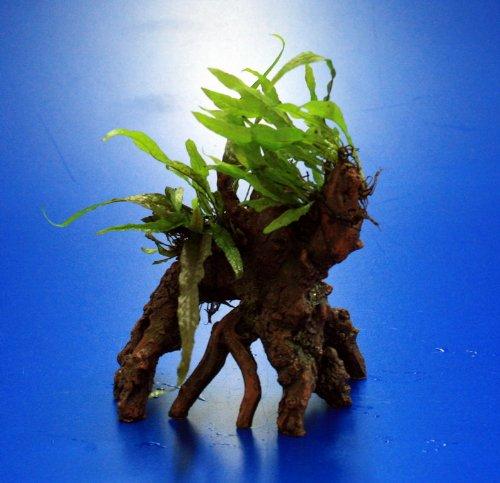 Nano Javafarn-Bäumchen mit Baumkrone / Urwaldbaum KLEIN mit Micr. Short Narrow Leaf -