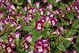 #8: Live plant - (Purple) Torenia/Torenia Fournieri/Wishbone Ornamental flower plant - 1 Healthy live plant