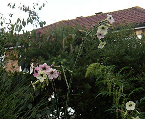 Portal Cool Nicotiana Mutabilis -Flowering Tabak-Weiß/Pink / Magenta Blumen-20 Fresh Seeds