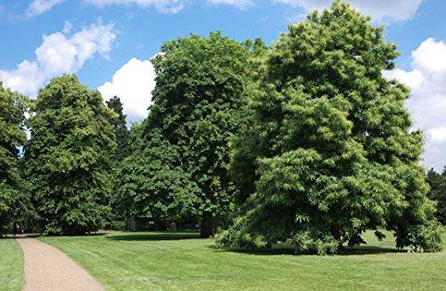 10-sweet-chestnut-trees-60-90cm-2-3ft-castanea-sativa-hedging-edible-nuts