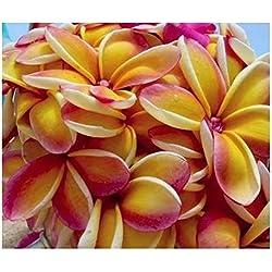 Plumeria rubra Rei Rainbow - Frangipani - Wachsblume - 3 Samen
