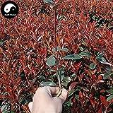Vistaric Kaufen Sie Photinia Serrulata Tree Seeds 50pcs Pflanze Red Robin für Heather Shi Nan
