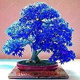 Fash Lady 40 teile/beutel japanischen ahorn samen, toronto maple leafs, bonsai baum samen mehrjährige blumen blumentopf feuer maple für hausgarten 9