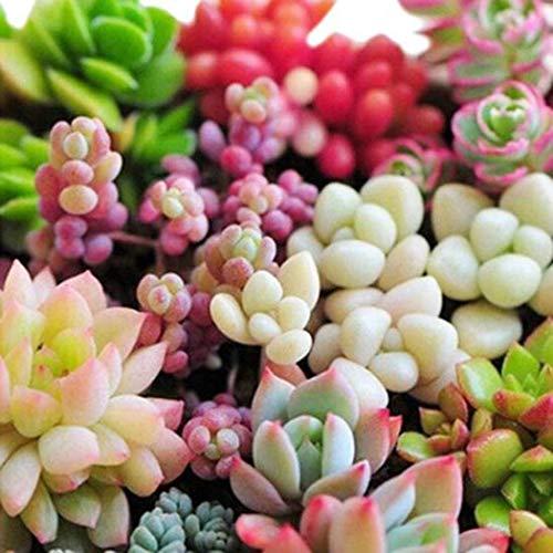 timesok garden,semi di succulente bonsai perenni semi cactus e piante grasse per casa balcone, giardino, cortile ornamento
