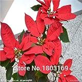 100 PC / Beutel, Poinsettia Samen, Euphorbia pulcherrima, Topfpflanzen, Pflanzen von Jahreszeiten, blühende Pflanzen