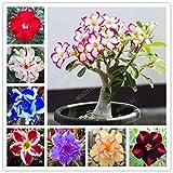 Heiße PC 5 Wüste seltene Blume Indoor-Bonsai Purifying Air Adenium Obesum Gartenblumen stieg die Keimungsrate 95%