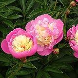 Müllers Grüner Garten Shop Edel-Pfingstrose Paeonia lactiflora Bowl of Beauty rosa und cremefarben gefüllte Blüten 5 Liter Topf