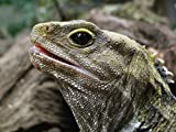 A Living Dinosaur: The Tuatara