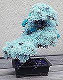 15pcs / rari blu semi Sakura Japanese, bonsai fiore di ciliegio ornamentali - piante