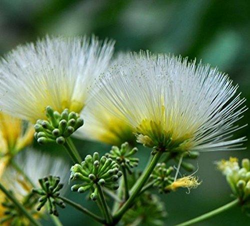 asklepios-seeds - 200 graines de albizia kalkora albizia odoratissima