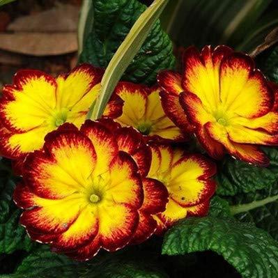 Shopmeeko GRAINES: 50pcs / sac Rose Primula (Primula vulgaris Hill) Plantes rares intérieur Bonsai fleurs en plein air pour la maison Potted Livraison gratuite: 12