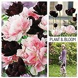 Plant & Bloom - Bulbes de fleurs, Tulipes à fleurs doubles d'Hollande - 20 ampoules, plantation d'automne, faciles à cultiver, floraison printanière - Noirs et Roses - Qualité supérieure hollandaise