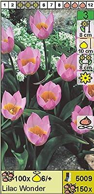 """Wildtulpe - Tulipa"""" Lilac Wonder"""" (10) von Das Blumenliesel auf Du und dein Garten"""