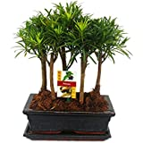 Bonsai Podocarpus - Forest planting with 5 trees - 25cm bowl