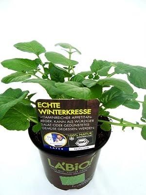 Bio Echte Winterkresse Kräuterpflanze von LÀBiO! Kräuter bei Du und dein Garten
