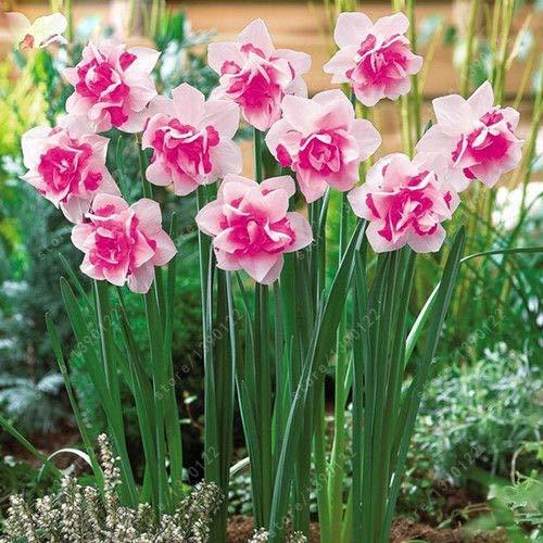 Portal Cool 1: Narzisse Seeds Narcissus Blumenzwiebeln Gemischte 100Pcs Aquatic Bonsai-Hausgarten