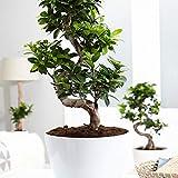 Bonsai'Ginseng' XL Höhe 70-75 cm Ø ca. 27 cm Ficus microcarpa