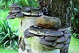 Bio Austernpilz Körner Pilzbrut - Pilze selber züchten - Körnerbrut