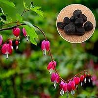 Rosepoem 10 Unids Perenne Bleeding Heart Seeds Planta de hoja perenne de hoja caduca Hardy Herb Dicentra Spectabilis Planta de la flor