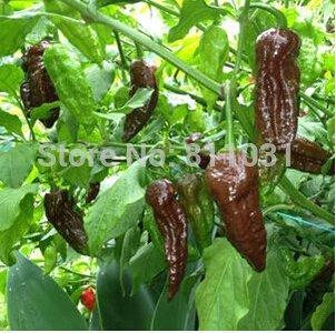 fantôme indien poivre (couleur chocolat) légumes de semences graines bonsaï jardin à la maison DIY livraison gratuite de vente chaude