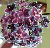 Hoya carnosa Purple - Porzellanblume - Wachsblume - 10 Samen